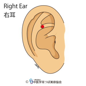 ear reflex point of buttock on the right ear